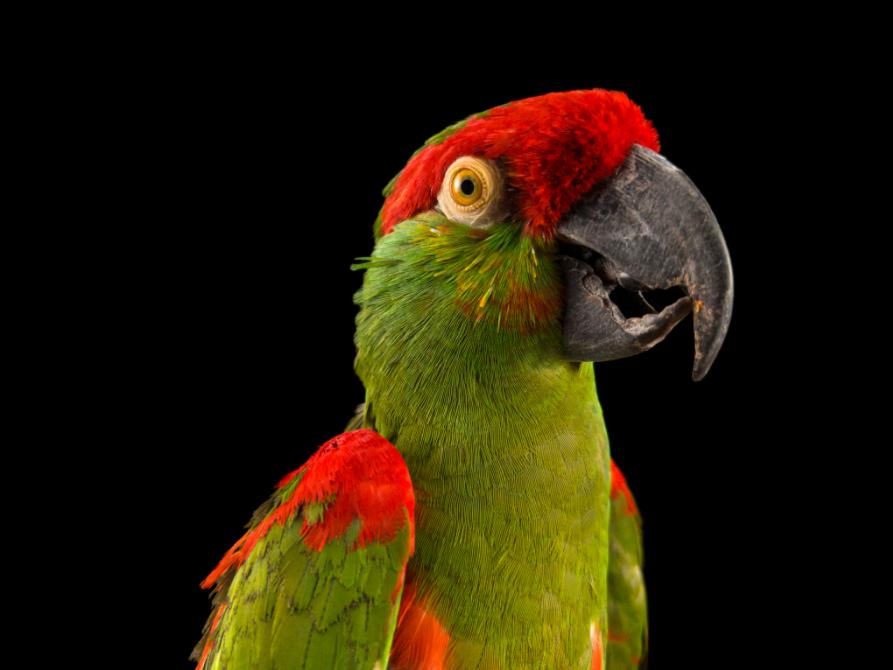 Endangered Colour Pappagallo Beccospesso